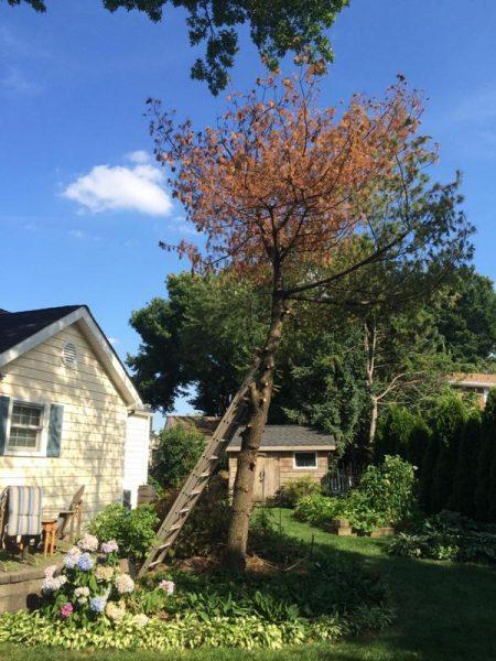 К сухому дереву приставлена лестница