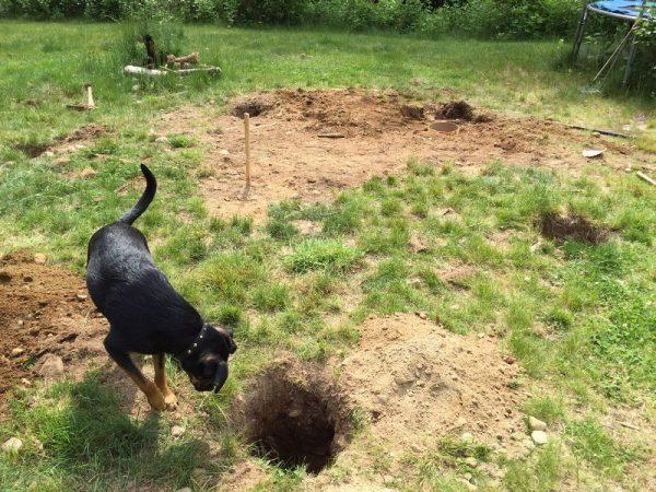 Собака заглядывает в яму