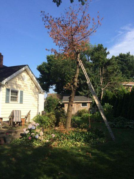 Сухое дерево с отпиленными ветками и металлическая лестница