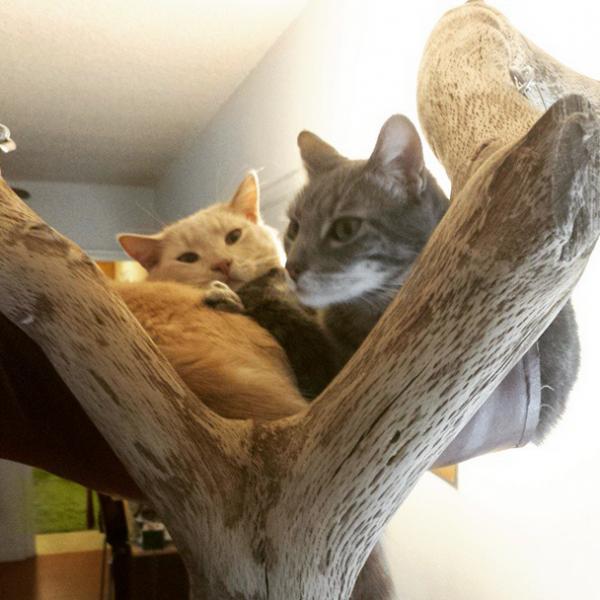 Рыжий и серый коты в гамаке