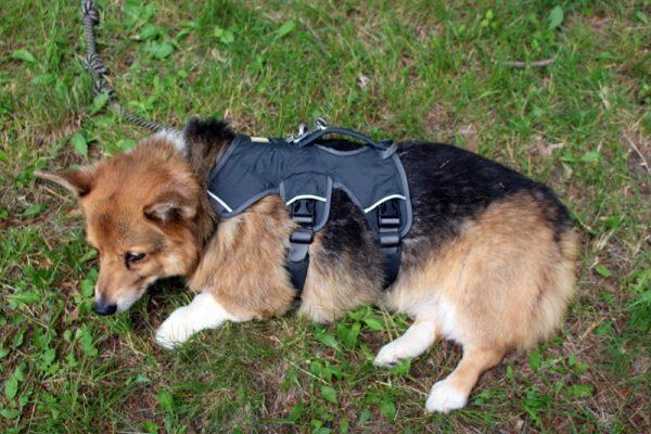 Собака в синем корсете с ремнями