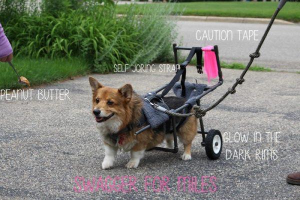 Собака на прогулке в инвалидной коляске
