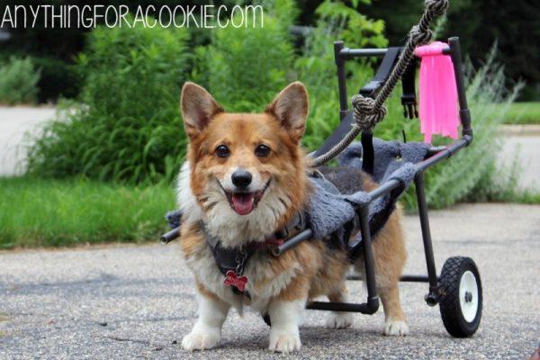 Собака в инвалидной коляской